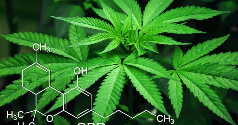 3 saman CBD hannun jari daga shari'a marijuana kansu • Drugs