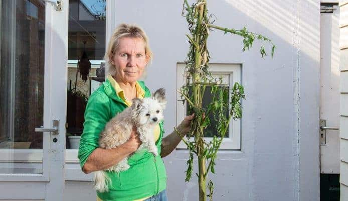Hennepplanten Voor Medicinaal Gebruik Vernietigd In Almelo
