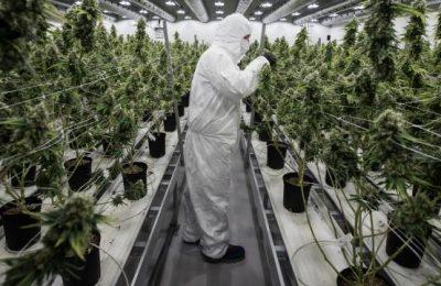 Il canopy canadese del produttore della cannabis coltiverà l'erba in Europa