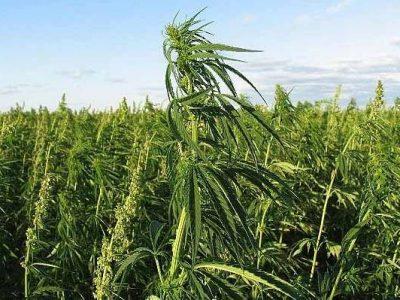 Cannabis Binnenkort Toegestaan Binnen Gezondheidszorg
