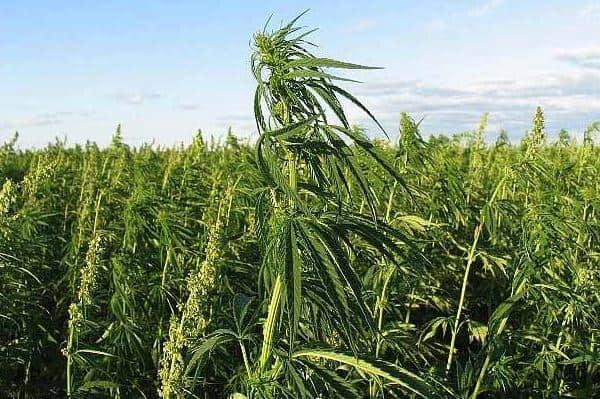 Cannabis Binnenkort Toegestaan Binnen Gezondheidszorg Suriname