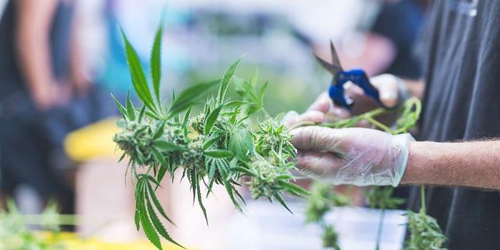 Hoe Gevaarlijk Zijn Cannabisaandelen?