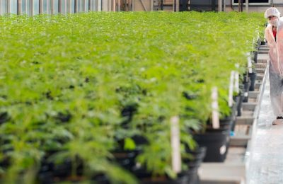"""BV Nederland zaradjuje """"stotine miliona"""" na tržištu cvjeta kanabisa"""