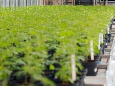 BV Nederland Verdient 'honderden Miljoenen' Aan Booming Cannabismarkt