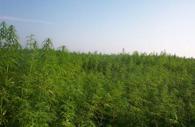 Ang 2019-01-28 Fiber Hemp Dili Cannabis