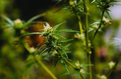 2019-04-02-Canadese Cannabisteelt Loopt Voorop Met Automatisering Van De Tuinbouwtechnologie