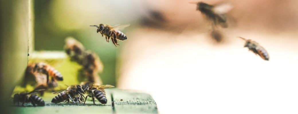Noem Ze Canna-Bees. Hoe Cannabis De Bijen Helpt En Andersom.