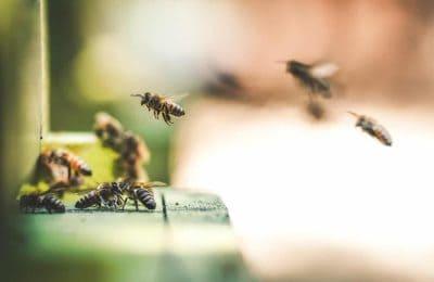 Noem Ze Canna-Bees. Hoe Cannabis Bijen Helpt En Andersom.