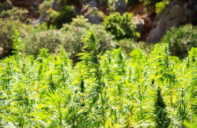 2019-05-28-Tweede Licentie Voor Medicinale Cannabis In Nederland