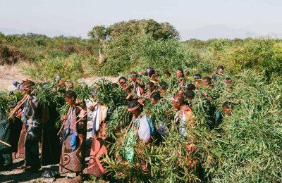 Het Zuid Afrikaanse Land Lesotho Verzilvert Medicinale Cannabis Hype Door Opening Van Britse Nieuwe CBD-fabriek