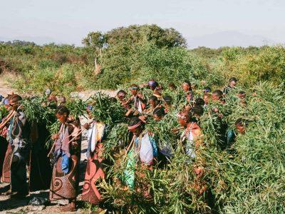 Ang nasod sa Lesotho sa Habagatang Aprika nag-pilay sa medisina sa cannabis hype pinaagi sa pagbukas sa bag-ong tanum nga CBD sa Britanya