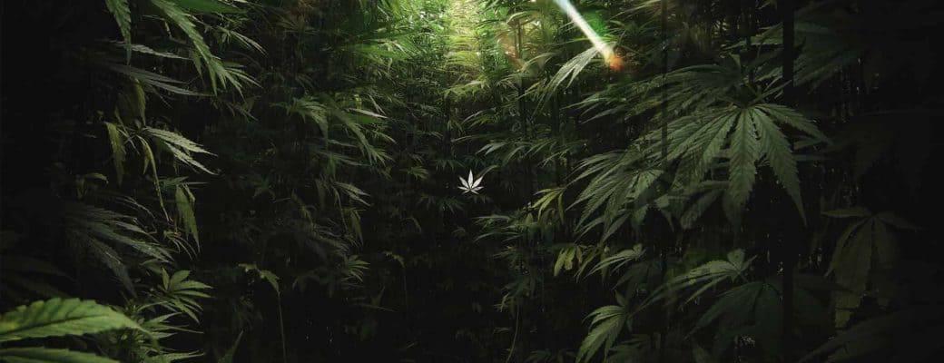 Health Canada Schort Licenties Van De Cannabisproducent Evergreen Op