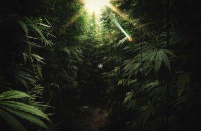 De Gezondheidsorganisatiee Health Canada Schort De Licenties Van De Cannabisproducent Evergreen Op