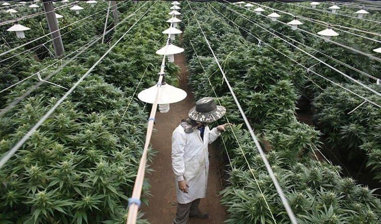 Cannabis nieuwes: Marihuana wordt nu gezien als een interessante te ontplooien activiteit in Thailand