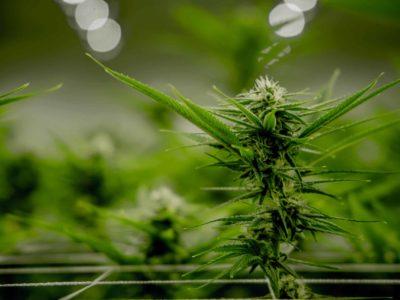 2020-04-25-Unsa ang Mahitungod sa Industriya sa Cannabis Panahon sa Krona sa Canada?