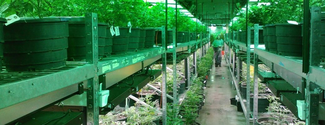 Zanist û Hilberhênerên Dutch di Hevbendiya Cannabis Qanûnî de dest bi hevkariyê dikin