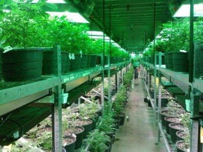 Nagsugod Magtambayayong ang Dutch Science ug Mga Nagpamaligya Sa Legal nga Cannabis Coalition