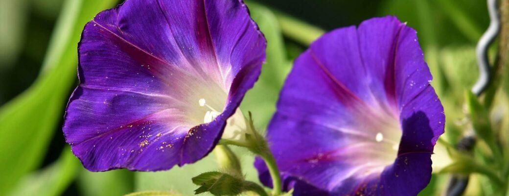 Is Het Kauwen Van De Morning Glory Seeds Vergelijkbaar Met LSD?