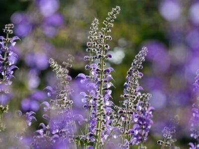2020/07/03-Is-What-salvia?
