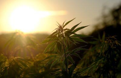 2020-08-07- Het Canadese Cannabisbedrijf Cronos Boekt Een Bedrijfsverlies Van $ 31,3 Miljoen In Het Tweede Kwartaal
