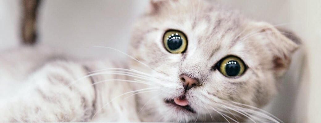 Welk Effect Heeft CBD-olie Op Katten?
