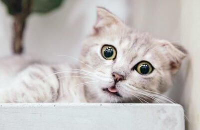 Kakav uticaj CBD ulje ima na mačke?