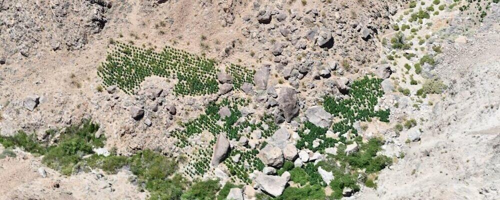 Enorme Illegale Wiet Kwekerijen Ontdekt In De Wildernis Van Californië