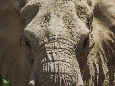 2020-08-29- ორი დაძაბული აფრიკული სპილო მიიღებს სამკურნალო CBD ვარშავაში