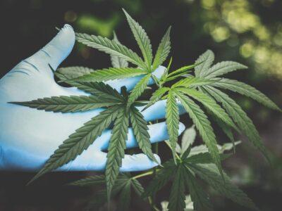 A houstoni törvényszéki tudományos központ tesztet dolgoz ki a marihuána és a kender megkülönböztetésére
