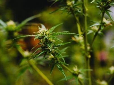2020-10-05-Geen Cannabistesten Meer Voor Canadese Studentatleten