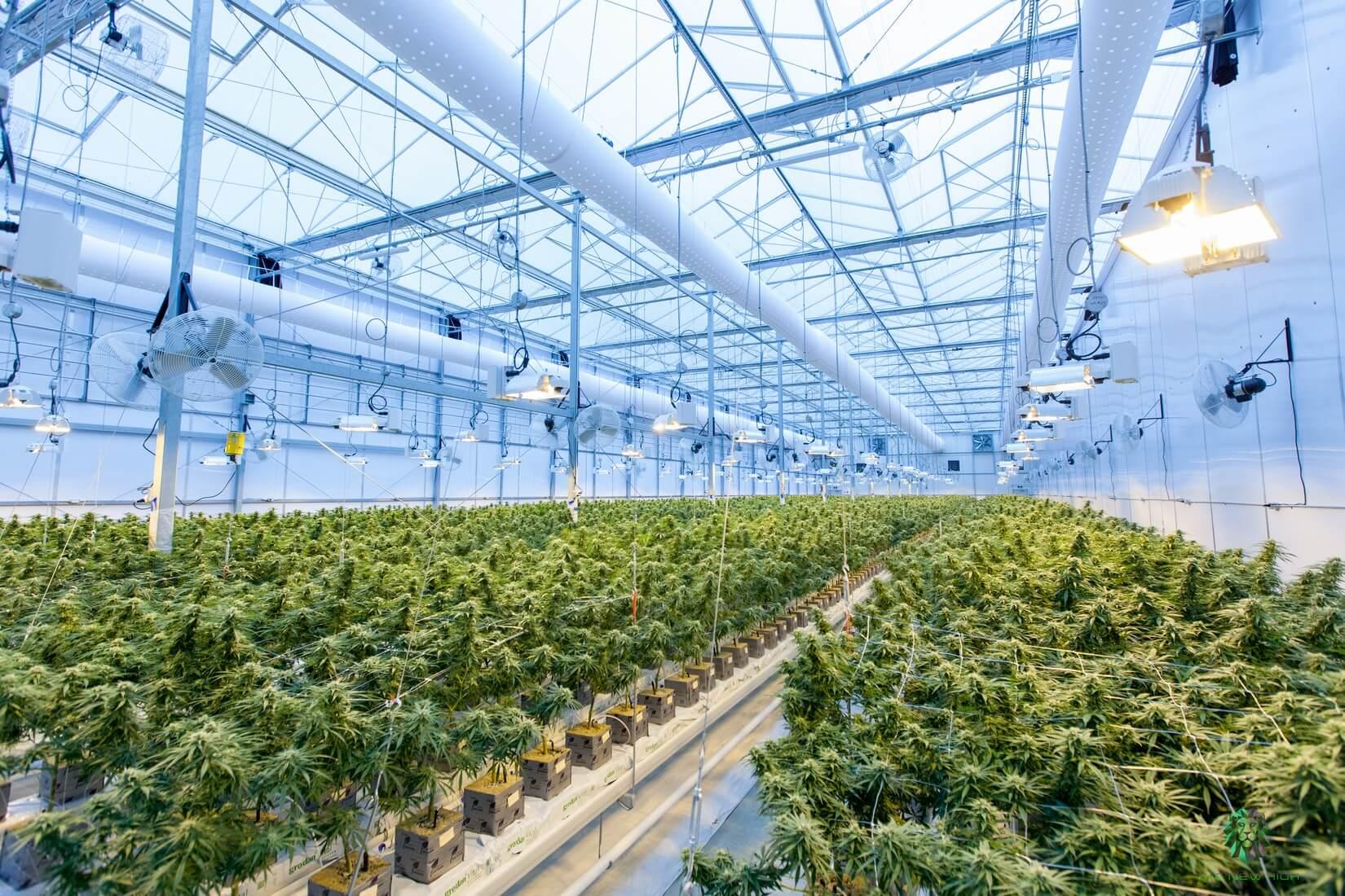 Technologie LED dans les lampes de culture de cannabis (photo)