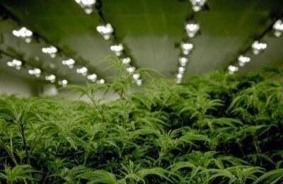 De Cannabisindustrie Hoopt Op Een Groene Kerst: Stijging Van Cannabis Aandelen