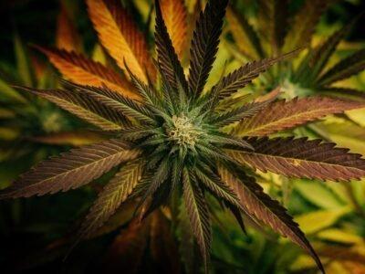 2021-01-02 Ang Mexico Nahimong Labing Dako nga Ligal nga Merkado sa Cannabis Sa Tibuok Kalibutan