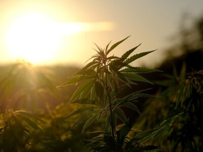 Nakapangita ang Panukiduki nga Adunay Potensyal Alang sa Mga compound sa Cannabis Ingon Antibiotics