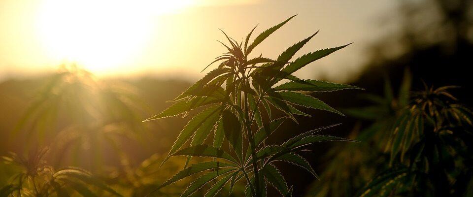 Onderzoek Ontdekt Potentieel Voor Verbindingen Van Cannabis Als Antibiotica
