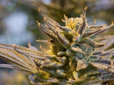 07-02-2021-Trends-in-de-cannabisindustrie-die-investeringen-in-de-komende-6-tot-12-maanden-kunnen-stimuleren