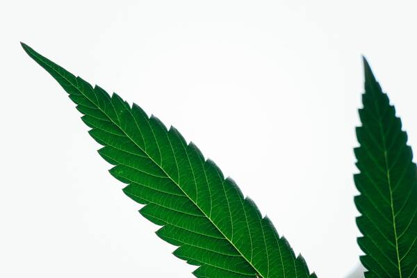 Kaņepes legalizācijas priekšrocības