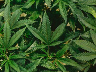 Eerste Legale Medicinale Cannabis Kliniek Van Schotland Trekt Meer Dan 500 Patiënten In Openingsweek