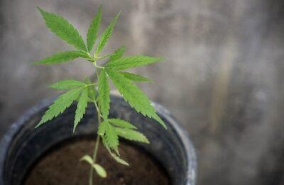 2021-07-05-Ben Jij Een Nederlandse Of Belgische Cannabiskweker? Doe Mee Aan Dit Onderzoek!